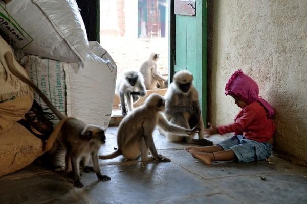 偷食物还偷婴儿 印警追捕肇事猴子
