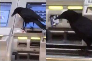 日本烏鴉竟搶信用卡買火車票(視頻)