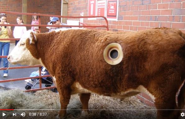 牛身上的大洞究竟是為什麼 遊客竟紛紛稱奇鼓掌(視頻)