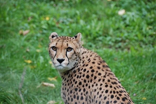 霸氣十足兇猛獵豹一開口 這聲音反差也太大了!