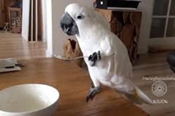 萌翻了!不仅会学人说话 这只鹦鹉还拿汤匙吃酸奶 (视频)