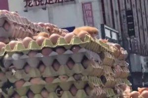 小鸡在鸡蛋车上破壳而出 呆萌兜风(视频)