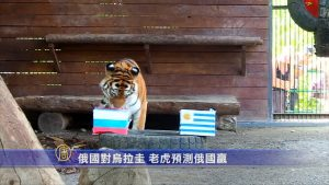 俄国对乌拉圭 老虎预测俄国赢