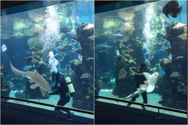 舒服到翻肚子!鯊魚向潛水員討摸 逗趣模樣笑翻網友
