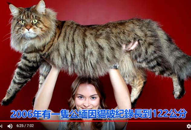 世界上最大的10种猫(视频)