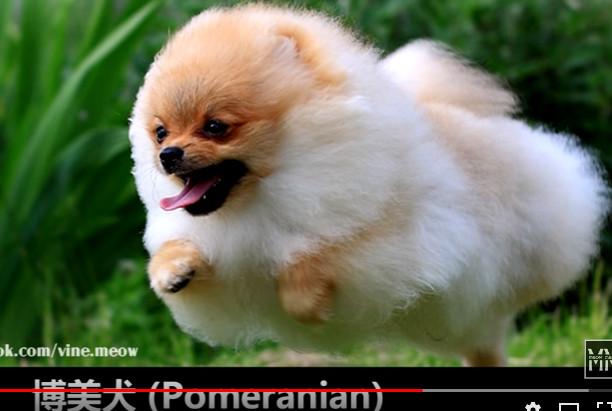 世界上最可爱的十大狗狗品种(视频)