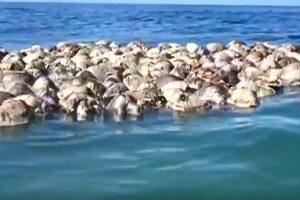 約300隻海龜困漁網死亡 屍體漂浮海中