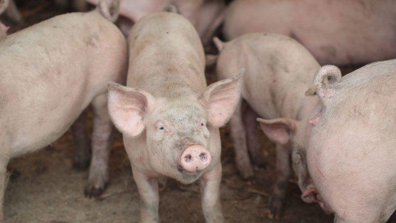 大陆猪瘟持续扩散 安徽现第5起 韩国亦受累