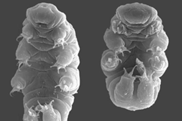 日本发现约一毫米小动物 可在太空存活