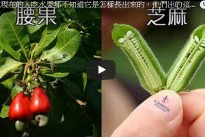 現在的人吃水果 但多數不知道水果是怎樣長出來的(視頻)