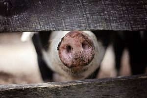 非洲猪瘟大陆扩散 安徽发现第6起疫情