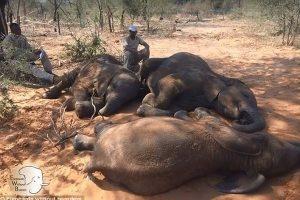 非洲野生动物保护区 87头大象遭猎杀取牙