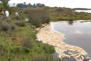 加州潟湖变鱼汤 2000多条鱼热死水面