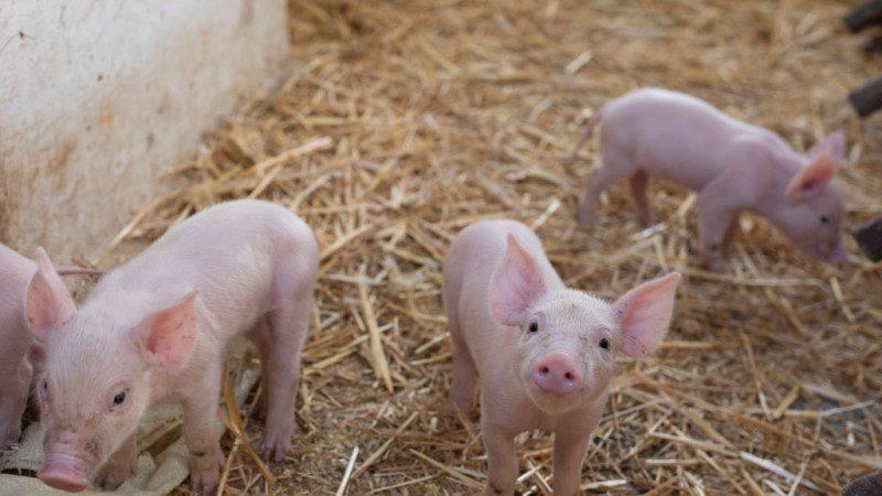 联合国粮农组织紧急会议  防堵中国猪瘟蔓延