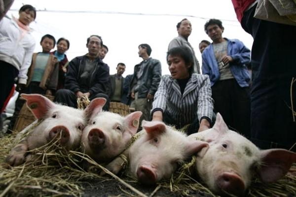 中国非洲猪瘟疫情恐怖蔓延 一天新增4例!
