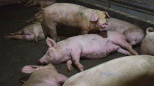 中共隱瞞非洲豬瘟疫  民眾被矇照吃豬肉