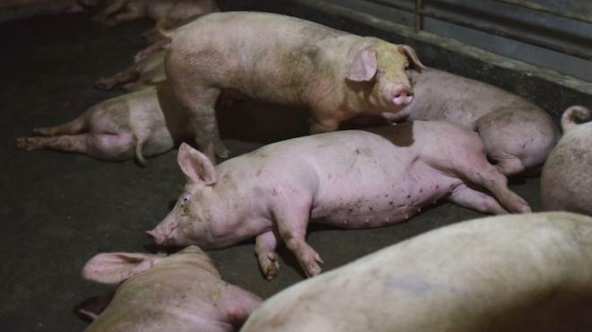 中共隐瞒非洲猪瘟疫  民众被蒙照吃猪肉
