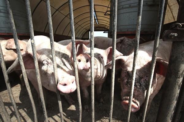 网传安徽铜陵紧急通知 167人染猪瘟 13人亡