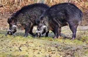 比利時發現首例非洲豬瘟 法國加強戒備