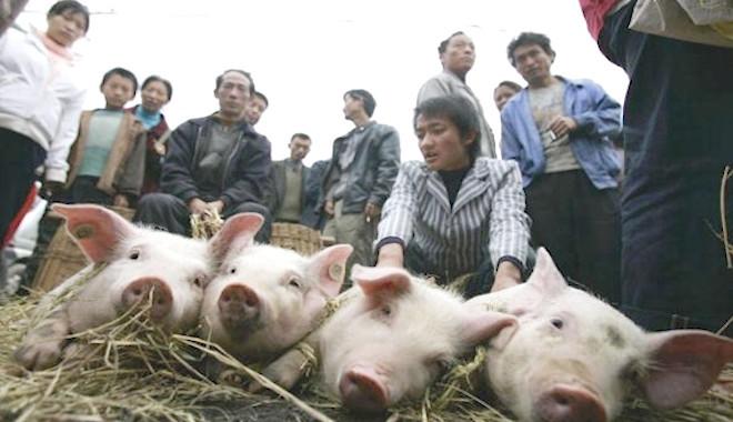非洲猪瘟扩散疑失控 中共恐慌建督查组
