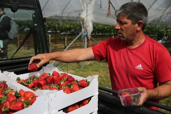 澳洲「草莓藏針」引恐慌 男童自首坦承只是惡作劇