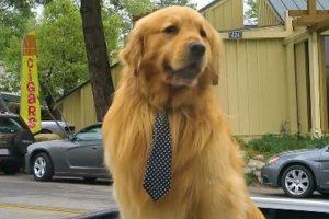黃金獵犬擊敗14隻狗與2隻貓 成功連任鎮長