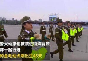 萌翻啦!智利国庆典礼阅兵上警犬宝宝超抢镜 (视频)