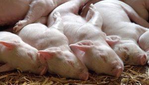 兽医收贿给辽宁病猪开假证 致猪瘟在内蒙古扩散