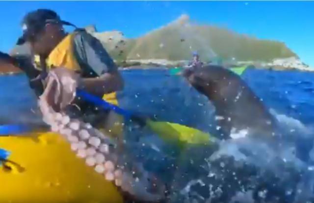 """海豹拿章鱼""""过肩摔""""打脸 新西兰男子无辜中招(视频)"""
