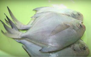 愛吃海魚一定要收藏,試試這樣做,嫩滑多汁又下飯,做法還簡單