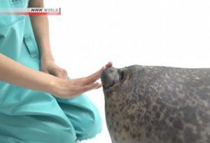 萌晕!日本海豹Yuki与饲育互动视频爆红(视频)