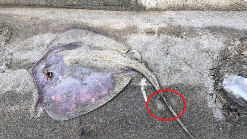 钓客离奇横尸堤岸 桃园警方怀疑凶手是它