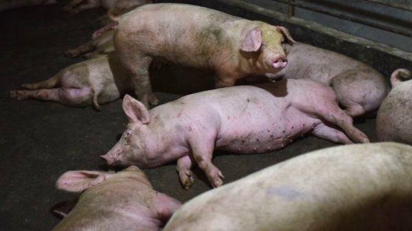 大陆非洲猪瘟继续蔓延  湖北现首个病例