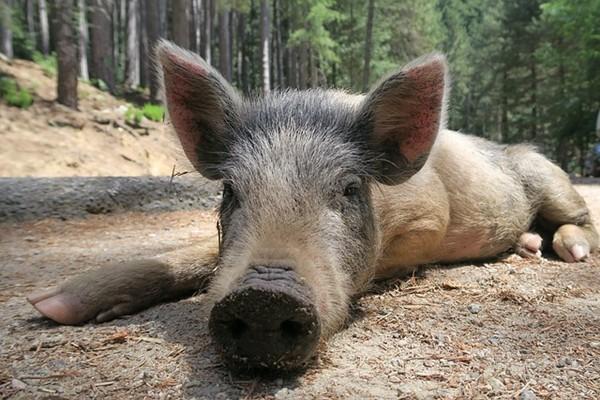 非洲豬瘟爆「防疫漏洞」吉林野豬染病恐侵入朝鮮