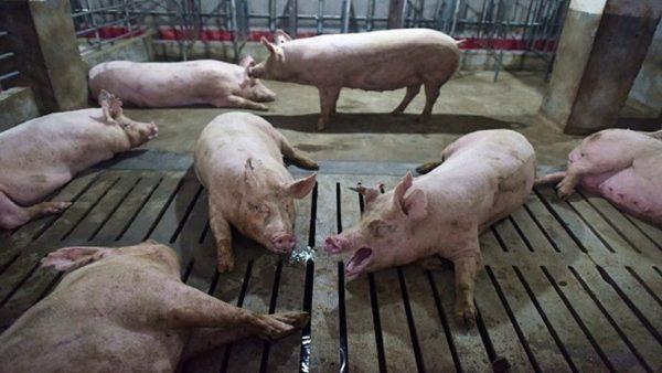非洲豬瘟攻入北京 驚動中共高層