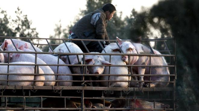 非洲豬瘟攻陷廣東 大陸僅8省暫未淪陷