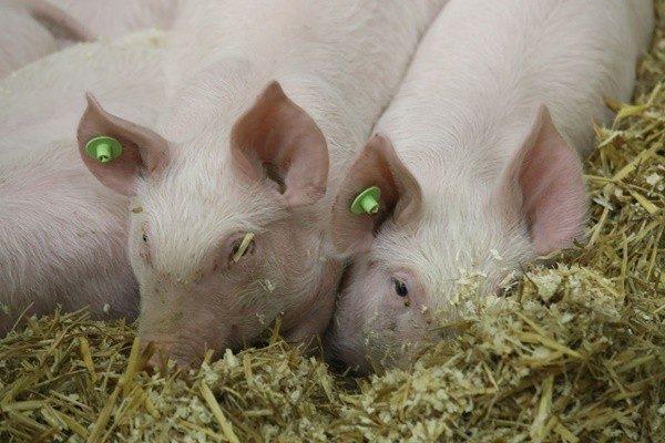 非洲豬瘟猖獗 中國大量購買高關稅美國豬肉