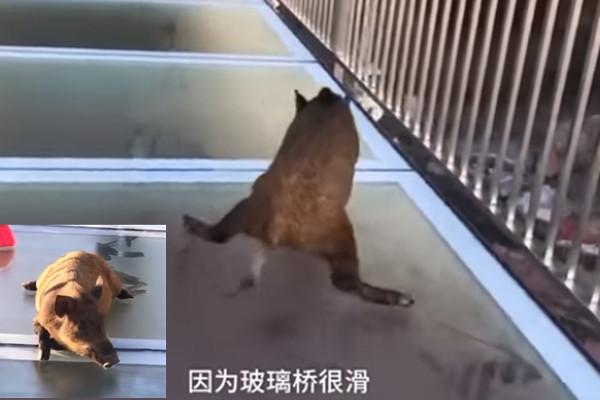 野豬誤闖高空玻璃天橋 嚇劈叉(視頻)
