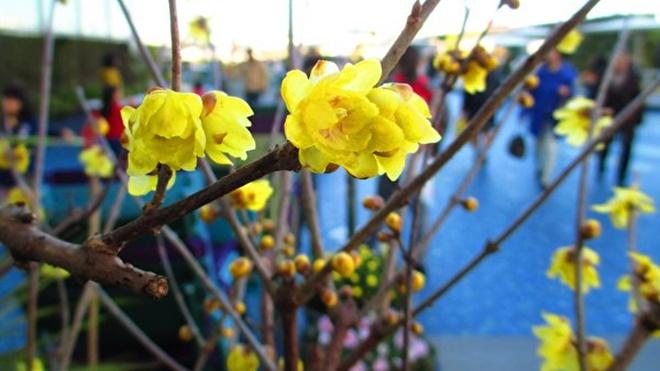 小寒节气到 梅花满天涯