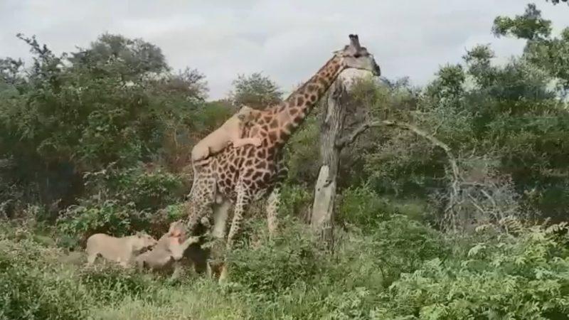长颈鹿遭6狮围攻 奋力回击奇迹生还