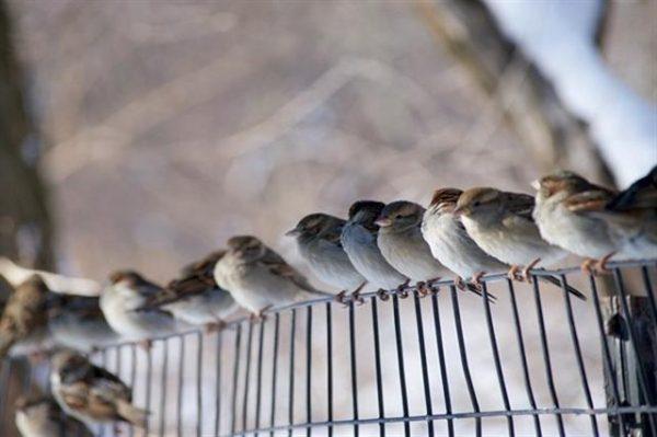 禾花雀濒临灭绝  快被中国人吃光