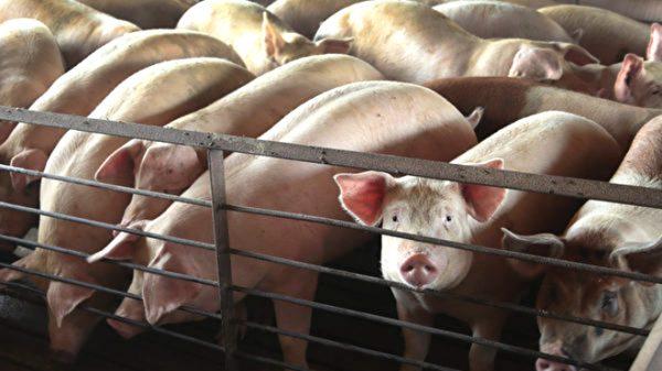 大陸擴散豬類「艾滋病」 223名官員被問責