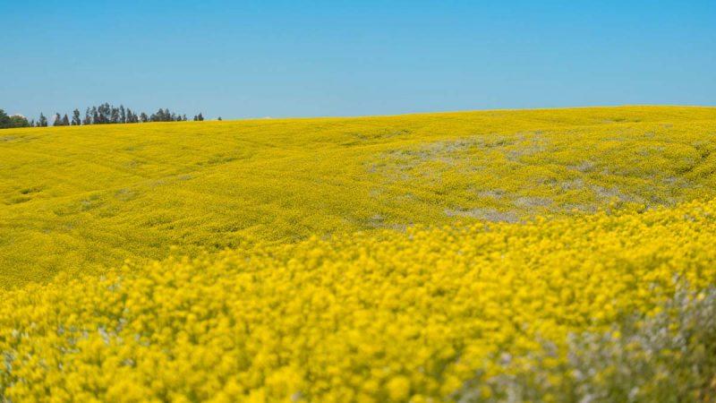 大豆危机重演?中共疑施压加拿大拖延油菜籽进口