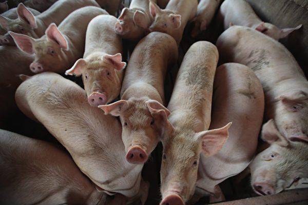 非洲豬瘟圍攻大陸  全國僅剩4省未爆疫情