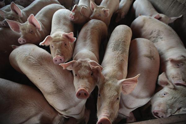 非洲猪瘟围攻大陆  全国仅剩4省未爆疫情