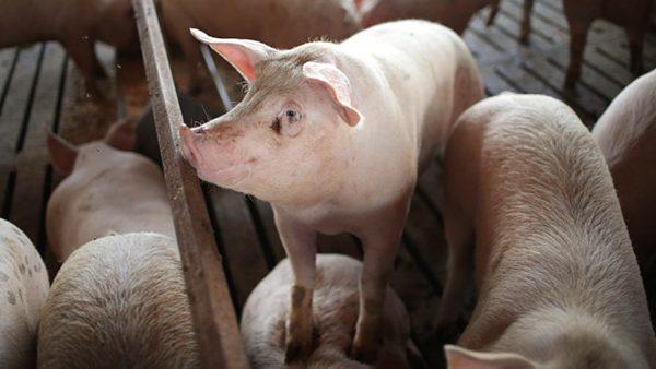 「漂洋過海來看你」 非洲豬瘟嚇壞鄰國