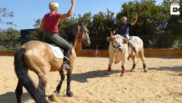 驯马师养牛当马骑 不但让人骑还会马术