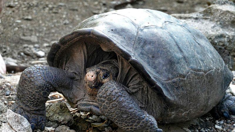 消逝112年 频绝种巨龟现身厄瓜多尔