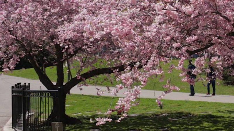 春天到樱花开 高地公园热闹了