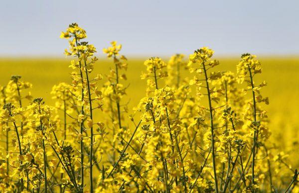 中共禁令 重創加國油菜籽農場